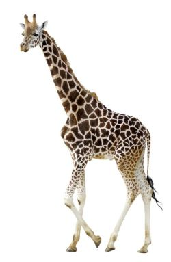 young_giraffe_on_white_background_600